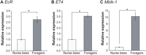 Quantification of ecdysone-related gene transcripts in the HPGs of nurse bees and foragers.Nurse bees or foragers (n = 9-14/group) were collected as one batch, and a total of four batches prepared from four different normal colonies were subjected to real-time RT-PCR. Relative mRNA levels of EcR (A), E74 (B), and Mblk-1 (C) are indicated with the standard error, with the amount of mRNA in nurse bee HPGs defined as 1. Transcript amounts were normalized with that of elongation factor 1α-F2 (EF1α-F2). Asterisks indicate significant differences between nurse bees and foragers (*, p < 0.05; t-test).