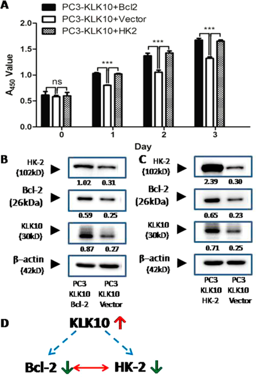 Up-regulation of KLK10 negatively regulates Bcl-2 and HK-2 expression.(A) CCK-8 cell proliferation assay showed that cell proliferation significantly increased in the Bcl-2- or HK-2-over-expressing PC3-KLK10 cell line compared with the PC3-KLK10 empty vector transfecting cell line (P < 0.001). (B) In the Bcl-2-over-expressing PC3-KLK10 cell line, the expression levels of both HK-2 and KLK10 increased. (C) In the HK-2-over-expressing PC3-KLK10 cell line, the expression levels of Bcl-2 and KLK10 also significantly increased. (D) Potential relationship diagram of KLK10, Bcl-2 and HK-2: the up-regulation of KLK10 might negatively regulate Bcl-2 and HK-2 expression; the expression of HK-2 and Bcl-2 might be synchronous and synergistic.