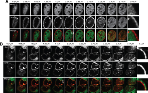 Neither RBM3 nor SadBL form a cellular meshwork. (A, B) Confocal images of a Z-stack of U2OS cells transiently expressing either GFP-RBM3 (RBM3; A) or GFP-SadBL (SadB; B), and transiently expressing mCherry-tagged lamin B (laminB1). Images were collected at 0.34 μm intervals. (A) Z-stack images taken in the intervals 0.34–0.68 μm and 2.72–3.74 μm show the nuclear envelope and in the interval 1.02–2.38 μm shows the nuclear compartment of cells expressing RBM3. (B) Z-stack images taken in the intervals 0.34–0.68 μm and 3.06–3.74 μm show the nuclear envelope and in the interval 1.02–2.72 μm shows the nuclear compartment of cells expressing SADB. (A, B) The magnified area (white border) shows the mid plane of the nuclear compartment (right panels). Scale bars, 10 μm.
