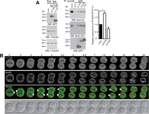 The C-terminal region of γ-tubulin assures the formation of chromatin-containing nuclei. (A) Total lysate from U2OS cells expressing C-γtubGFP334–452 (CγTub), N-γtubGFP1–333 (Nterm), GFP-γ-tubulin (γTub) or empty vector (Cont.) were separately immunoprecipitated with anti-GFP or anti-lamin B. The expression levels of the various recombinant proteins were first analyzed by WB with an anti-GFP and reprobed with a mixture of two anti-γ-tubulin (T3320 and T6557) antibodies. The cellulose membranes containing immunoprecipitated GFP-tagged proteins were first analyzed by WB with an anti-lamin B antibody and reprobed with an anti-lamin A/C and −GFP. Arrowheads indicate the immunoprecipitated GFP-fused proteins (n = 3). Graph shows the protein concentration of lamin B found in C-γtubGFP334–452 and N-γtubGFP1–333 immunoprecipitates relative to the lamin B concentration found in GFP-γ-tubulin immunoprecipitates expressed in arbitrary units (AU; mean ± s.d; n = 3, * p < 0.05). To adjust for differences in protein loading, the protein concentration of lamin B was determined by its ratio with the immunoprecipitated GFP-tagged protein for each sample. The protein ratio in control extracts was set to 1. (B) DIC/fluorescence images of time-lapse from a U2OS cell that is stably expressing both γTUBULIN shRNA and sh-resistant Cγ-tubGFP334–452 (CγTub, green), and transiently expressing mCherry-lamin B1 (lamB1; red) with Hoechst 33258 stained chromatin (blue), as indicated. The image series show chosen frames of the location of Cγ-tubGFP334–452 and lamin B1 during nuclear assembly in a mitotic cell. Images were collected every 30 sec. Scale bars, 10 μm. See also movie S4.