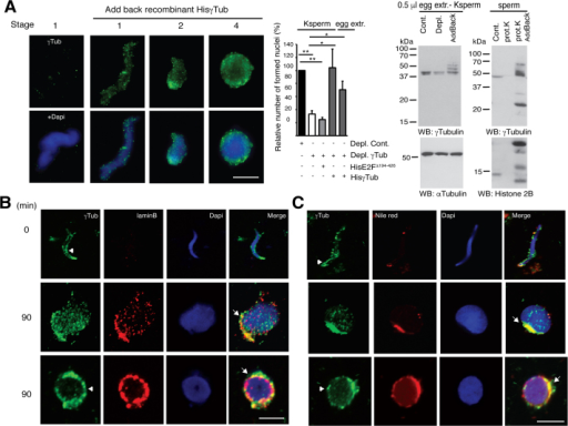 Recombinant γ-tubulin restores nuclear assembly. (A) Nuclear assembly was performed as in Fig. 3. Bacterially produced His6–γ-tubulin (HisγTub) or His6–E2F1Δ194−426 (HisE2FΔ194−426) was added back (addback) to Ksperm or to immunodepleted egg extract (egg extr.) and the effects of His6–γ-tubulin on nuclear assembly were examined. The protein levels of γ-tubulin in extracts (egg extr.-Ksperm) or sperm were analyzed by WB as indicated. An α-tubulin (αTub) loading control is shown (n = 3-6). Graphs show mean percentage of formed nuclei in stage 3 and 4 relative to a control (black bar) from nuclear assembly reactions that consisted of immunodepleted egg extracts and sperm or Ksperm, in which an anti-γ-tubulin antibody (open bar; T3320) or an anti-γ-tubulin antibody that after immunodepletion, either His6–γ-tubulin or His6–E2F1Δ194−426 was added to Ksperm or to depleted egg extract (grey bar; ± s.d., n = 3-6 for each graph; * p < 0.05, ** p < 0.01). (B, C) Confocal images of the morphological changes of nuclei in stage 1, 3 and 4 from a nuclear assembly of egg extracts and sperm treated as in Fig. 3 but incubated for 90 min before fixation to increase the number of nuclei in stage 4. Arrowheads show γ-tubulin boundaries around sperm and nuclei. Arrows show γ-tubulin–lamin B3 enriched areas. In (A-C) γ-tubulin (γTub; green;) and lamin B3 (laminB; red) are shown as immunofluorescence staining with an anti-γ-tubulin and an anti-lamin B3 antibody. Nuclear membranes and nuclei were detected with Nile red (red) and DAPI (blue), respectively. The figure shows representative images from at least ten experiments. Scale bars, 10 μm.
