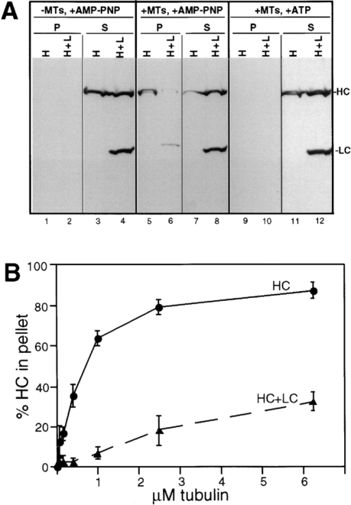 MT cosedimentation of HC expressed alone or together with LC. (A) Lysates from COS cells expressing HC alone  (H) or together with LC (H+L) were compared under three conditions: no addition of MTs (left) or addition of taxol-stabilized  MTs with either AMP-PNP (middle) or ATP (right). MTs and  bound proteins were sedimented through a sucrose cushion and  the MT pellets (P) and supernatants (S) were immunoblotted for  the presence of the expressed HC and LC. (B) Quantitation  of the amount of HC recovered in the MT pellet in the presence  of AMP-PNP as a function of the amount of MTs added to the lysate. (•) Data from cells expressing HC alone, (▴) cells coexpressing HC and LC. Each data point represents the mean ± SD  of at least four experiments.