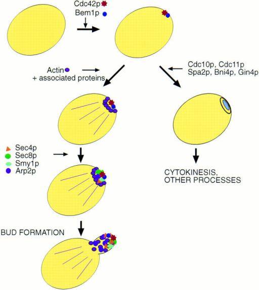 Model depicting  the development of polarity  at the presumptive bud site.  Cdc42p and Bem1p localize  to the presumptive bud site  in an actin-independent manner. After localization of  these polarity establishment  proteins, other proteins associated with the development  of cell polarity are able to localize. Proteins associated  with secretion require actin  in order to achieve their polarized localization. Other proteins do not require actin for  localization and therefore occupy a separate branch in polarity development. Note that  in the case of Cdc10p, Cdc11p,  and Spa2p, a pathway parallel to the actin/secretion pathway is indicated by results  from previous studies (see  text). Additional experiments  are required to elucidate dependency relationships for localization of Cdc10p, Cdc11p,  Spa2p, Bni4p, and Gin4p.