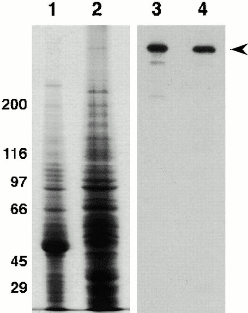 Specificity of the mouse monoclonal antidynein heavy chain antibody P1H4: lanes 1 and 2, Coomassie blue–stained gel of fly testis and grasshopper testis homogenates, respectively; lanes 3 and 4, duplicate gel blotted and probed with the P1H4 monoclonal antibody. The P1H4 specifically detects dynein heavy chain (arrowhead) in both fly and grasshopper testis. Molecular mass values are indicated to the left of lane 1.