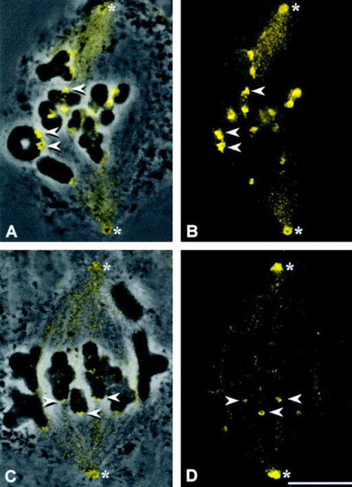 Dynein staining in grasshopper spermatocytes. (A and C) Superimposed phase–contrast and immunofluorescence images. (B and D) Immunofluorescence images. The dynein antibody stains the spindle, spindle poles, and kinetochores (arrowheads) in both prometaphase (A and B) and metaphase (C and D) cells (the absence of a tight metaphase plate in C and D is due to cell lysis before fixation). Dynein staining is far brighter on prometaphase kinetochores (A and B) than at metaphase (C and D). *Spindle poles. Bar, 10 μm.