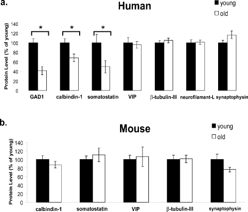 Reduced protein markers of inhibitory neurons in the aged human cortex.a. GAD1, calbindin-1, and somatostatin protein levels are significantly lower in the aged (71–91 yr; white) human cortex than in the young adult (24–35 yr; black) cortex, in agreement with microarray results. VIP expression is age-stable at the protein level. The neuronal markers β-tubulin-III and neurofilament-L are age-stable at the protein level, as is the synaptic protein synaptophysin. n = 15. The primary Western blot data are shown in Figure S2a. b. Calbindin-1, somatostatin, and VIP protein levels are age-stable in the mouse cortex, in agreement with the microarray results. Likewise, β-tubulin-III and synaptophysin do not change significantly with age. Attempts to probe for mouse GAD1 and neurofilament-L were not successful. n = 6. The primary Western blot data are shown in Figure S2b. In both a and b, the level of each protein was normalized to the level of actin. Values represent the mean±S.E.M. expressed as percent of the mean young value for each protein. * P<0.05 by Student's two-tailed t-test.