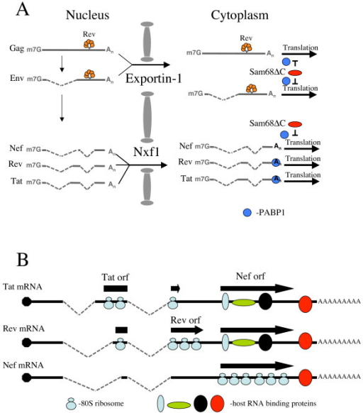 Understanding regulation of HIV-1 gene expression by Sam68ΔC. (A) Following transcription, HIV-1 RNA undergoes alternative splicing to generate over 40 mRNAs that correspond to unspliced (encoding Gag and Gagpol), singly spliced (to produce Vif, Vpr, Vpu and Env) or multiply spliced (for generating Tat, Rev and Nef) mRNAs. Unspliced and singly spliced viral RNAs are exported to the cytoplasm via exportin-1, which is mediated by Rev, while the multiply spliced RNAs exit using Nxf1. Once within the cytoplasm, Sam68ΔC interacts with the unspliced, singly spliced and nef mRNAs to block their translation by preventing the binding of PABP1 (shown as a small blue circle). In contrast, PABP1 binds to tat and rev mRNAs, and translation is unaffected. (B) A model for the discrimination between tat, rev and nef mRNAs. The process of splicing used to generate the mRNAs encoding Tat, Rev and Nef results in slight variations in 5' sequence, but all the mRNAs encompass the nef reading frame (individual reading frames are illustrated by block arrows). However, translation of the individual reading frames could result in variations in the composition/structure of the mRNA within the common sequence (as represented by the coloured ovals). Such differences in composition/structure of the viral mRNP could serve as means by which Sam68ΔC selectively regulates their expression.