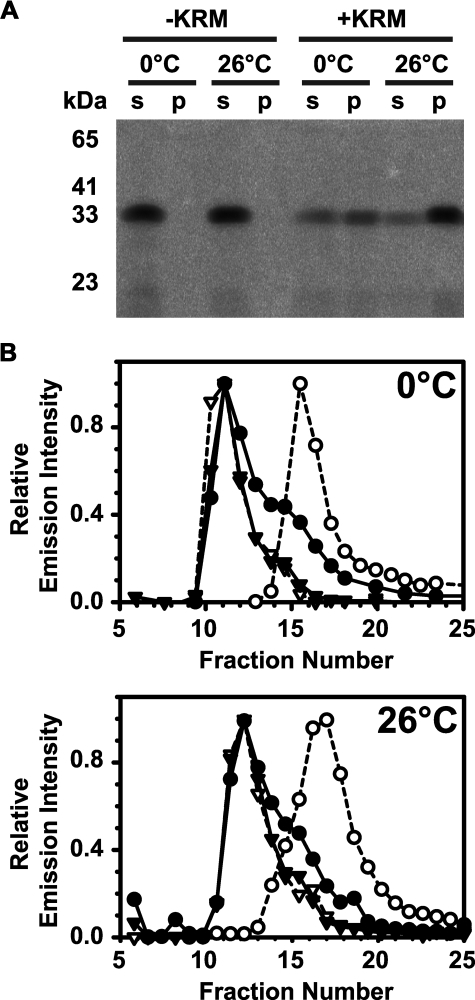 RTA binds to ER microsomal membranes. 0.25 μm (A) 2.5 μm (B) RTA259-NBD were incubated in buffer H for 30 min on ice (0 °C) or at 26 °C with either microsomal membranes (+KRM; 20-40 eq) or an equal amount of buffer without microsomes (-KRM). Free RTA259-NBD was then separated from KRM-bound RTA259-NBD either by sedimentation (A) or by gel filtration chromatography (B). A, following sedimentation, the supernatant (s) and the microsomal pellet (p) were analyzed by SDS-PAGE. NBD-labeled proteins were visualized using a fluorescence imager. B, following mixing, free and KRM-bound RTA259-NBD were separated by gel filtration chromatography in buffer H at 4 °C using a Sepharose CL-2B column (8 × 0.5-cm inner diameter). Each fraction was scanned for the presence of RTA259-NBD (•; λex = 468 nm; λem = 530 nm) and KRMs (▾; λex = 405 nm; λem = 420 nm). As controls, only RTA259-NBD (○) or only KRMs (▿) were run and analyzed separately.