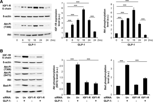 GLP-1 increased IGF-1R expression and signaling in MIN6 cells. A: MIN6 cells were treated with GLP-1 for the indicated periods of time, and IGF-1R expression and Akt phosphorylation were analyzed by Western blot analysis. B: MIN6 cells were transfected with a control (Un) or an IGF-1R siRNA and treated for 18 h with GLP-1. GLP-1 induced IGF-1 receptor expression, Akt phosphorylation on both T308 and S473, and Bad phosphorylation. Preventing IGF-1R expression suppressed GLP-1–induced Akt and Bad phosphorylation. For all panels, data are means ± SD, n = 3 independent experiments. ***P < 0.001.