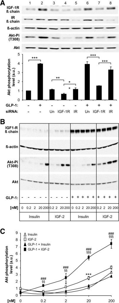 GLP-1–induced Akt phosphorylation depends on IGF-1R but not IR expression. A: MIN6 cells were transfected with control (Un, lanes 3 and 6), IGF-1R (lanes 4 and 7), or IR-specific (lanes 5 and 8) siRNAs and exposed (+) or not (−) to GLP-1 for 18 h before Western analysis. Lanes 1 and 2 show the induction by GLP-1 of IGF-1R expression in nontransfected cells. Lane 3 shows the basal level of IGF-1R and IR expression in transfected cells; reducing IGF-1R expression (lane 4) but not the IR (lane 5) reduced Akt phosphorylation. Lane 6: GLP-1–treated cells showed higher expression of the IGF-1R but not of the IR; reducing IGF-1R expression (lane 7) but not IR (lane 8) reduced Akt phosphorylation. Bottom panel: Quantitation of the data. Data are means ± SD, n = 3 independent experiments. **P < 0.01; ***P < 0.001. B: MIN6 cells were treated or not for 18 h with GLP-1 to increase IGF-1R expression, then incubated with 2 mmol/l glucose for 2 h, and exposed for 15 min to the indicated concentrations of insulin or IGF-2. IGF-1R and total and phosphorylated Akt were determined by Western blot analysis. C: Quantification of the data in B. *P < 0.05, ***P < 0.001 for IGF-2 vs. insulin; §§P < 0.01, §§§P < 0.001 for IGF-2 in control vs. GLP-1–treated cells; ###P < 0.001 for IGF-2 vs. insulin in GLP-1–treated cells. a.u., arbitrary units.