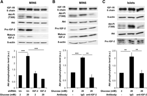 GLP-1–increased Akt phosphorylation depends on secreted IGF-2. A: MIN6 cells were transfected with an unrelated (Un) or an IGF-2–specific shRNA. Forty-eight hours later, they were stimulated with GLP-1 for 18 h to increase IGF-1R expression and then incubated with 2 mmol/l glucose for 2 h and for 1 h in either 2 or 20 mmol/l glucose. B: MIN6 cells were stimulated with GLP-1 for 18 h and then incubated with 2 mmol/l glucose for 2 h and for 1 h in either 2 or 20 mmol/l glucose and with nonspecific IgGs or an IGF-2 blocking antibody. C: Pancreatic islets were stimulated with GLP-1 for 18 h and then incubated with 2 mmol/l glucose for 2 h and for 1 h in either 2 or 20 mmol/l glucose and with nonspecific IgGs or an IGF-2 blocking antibody. A–C: Data are means ± SD, n = 3 independent experiments. **P < 0.01; ***P < 0.001. a.u., arbitrary units.