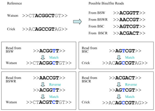Mapping bisulfite reads to 4 possible bisulfite strands (BSW/BSWR/BSC/BSCR) is equivalent to mapping the bisulfite read and its reverse complementary read to both Watson/Crick strands of the original reference sequence.