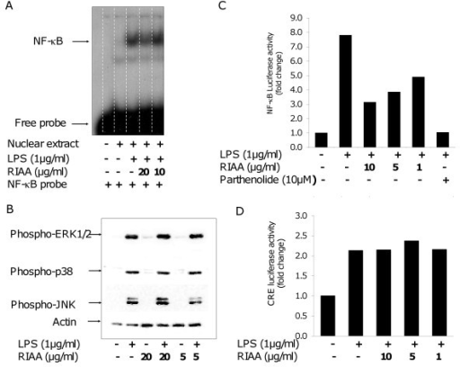 Effect of RIAA on LPS-induced inflammatory signaling pathways in RAW 264.7 cells. (A) Cells were incubated for 1 h with RIAA (0, 10 and 20 μg/ml) followed by LPS stimulation (1 μg/ml) for 2 h. Nuclear extract were analyzed for NF-κB binding by EMSA. (B) Cells were pre-incubated with RIAA (5 and 20 μg/ml) for 1 h and stimulated with LPS (1 μg/ml) for 1 h. Cell lysates were analyzed for phosphorylation of ERK1/2, p38 and JNK using western blot. (C) Cells transiently transfected with NF-κB firefly luciferase construct were incubated with RIAA (1, 5 and 10 μg/ml) or NF-κB inhibitor parthenolide (10 μM) for 1 h followed by LPS (1 μg/ml) stimulation for 8 h. The luciferase activities were determined and normalized with Renilla expression, and expressed as fold change compared to vehicle control. Data shown is representative of the experiment repeated several times. (D) Cells transiently transfected with CRE firefly luciferase construct were incubated with RIAA (1, 5 and 10 μg/ml) for 1 h followed by LPS (1 μg/ml) stimulation for 8 h. The luciferase activities were determined and corrected with Renilla expression, and expressed as fold change compared to vehicle control. Data shown is representative of the experiment repeated several times.