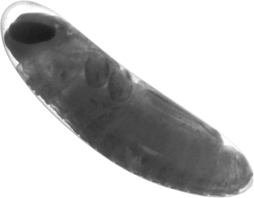 Embryo of Melanoplus sanguinipes after 32 days at 22° C, at about 80% relative development, the stage at which diapause occurs.