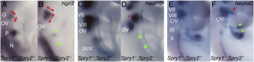 Defects in epibranchial placode formation and neuronal differentiation in Sprouty mutant embryos. Whole mount in situ hybridisation with a Ngn2 RNA probe (A,B) to detect the developing placodes and a NeuroD RNA probe (C–F) to identify differentiating neuroblasts. Arrows indicate changes in gene expression and asterisks highlight regions where gene expression had been lost. Annotations are the same as in Figs. 1 and 2; with the vestibulo-acoustic nerve (VIII) also indicated. Note the enlarged geniculate placode in the Spry1−/−;Spry2−/− E9.5 embryos compared to Spry1+/−;Spry2+/− controls (A,B) (n = 6). Conversely, note the smaller or absent petrosal and nodose placodes in the Spry1−/−;Spry2−/− embryos. NeuroD expression is reduced at E9.5 (C,D) (n = 4). NeuroD expression recovers and appears increased in the geniculate (red arrow), geniculate and petrosal (green arrows) ganglia of Spry1−/−;Spry2−/− embryos compared to Spry1+/−;Spry2+/− controls (n = 4) at E10.5 (E,F).