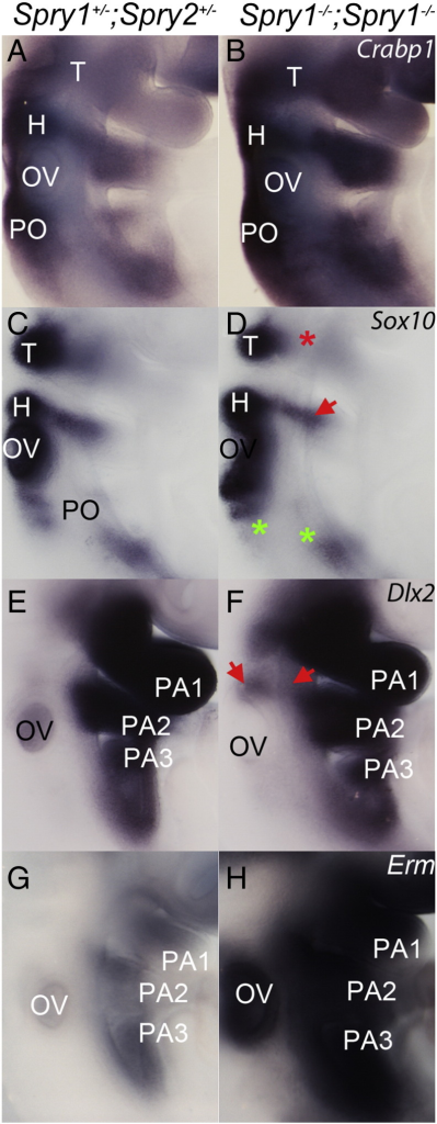 Neural crest cell fate appears altered in Spry1−/−;Spry2−/− embryos. Whole mount in situ hybridisation of control (A,C,E,G) and Spry1−/−;Spry2−/− embryos (B,D,F,H) with neural crest markers Crabp1 (A,B) (n = 6), Sox10 (C,D) (n = 4), Dlx2 (E,F) (n = 4), and a reporter of FGF signalling Erm (G,H) all at E9 (20–22 somite stage). Neural crest streams, pharyngeal arches and otic vesicle are labelled as in Figs. 1 and 2. Arrows illustrate changes in gene expression and asterisks indicate regions with absent gene expression.