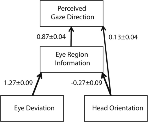 Dual-route model for the influence of head orientation on perceived gaze direction. The weights attached to each cue were derived by comparing the experimental results from the whole-head and eye-region conditions.
