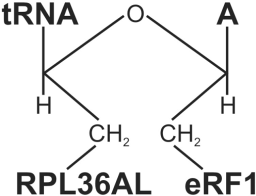 Structure of the ternary RPL36AL-tRNAox-eRF1 covalent complex.