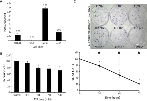 Extracellular ATP exerts acute and chronic toxicity in cervical cancer cells. (A) Comparison of P2×7 mRNA expression in SiHa, HeLa, C33A, and HaCaT cell lines by quantitative real-time PCR analysis. Results are presented as the ratio cDNA/GAPDH. (B) SiHa cell viability after exposure to increased ATP concentration for 24 h using MTT assay. (C) Bottom, time curve of SiHa cells treated with 5 mM ATP for 24, 48, and 72 h, determined by number of viable cells not marked by trypan blue. Top, 100 viable cells were seeded in clonogenic assay, and colony formation was evaluated. Numbers at bottom are survival fraction according to clonogenic assay. C, control; ATP, treatment with 5mM ATP. *p < 0.05 compared with control (one-way ANOVA, followed by Tukey's test).
