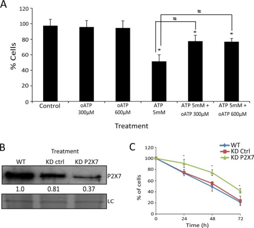 P2×7 receptor contributes little to the total cytotoxic effect of extracellular ATP in SiHa cells. (A) Blockage of 5 mM ATP induces cell death by the P2×7 antagonist oATP at two concentrations (300 and 600 μM). Control represents cells without treatment. *p < 0.05 for comparison vs. control and #p < 0.05 for comparison vs. respective group (two-way ANOVA, followed by Bonferroni posttest). (B) Knockdown for P2×7 confirmed by Western blot. SiHa WT, SiHa wild type; SiHa KD ctrl, SiHa cells transduced with nontarget sequence (knockdown control); SiHa KD P2×7, SiHa knockdown for P2×7. Loading control (LC) represents PVDF membrane stained with Coomassie blue. Numbers represent P2×7 protein amount in relation to SiHa WT. (C) Number of viable cells not marked by trypan blue after 5 mM ATP treatment for 24, 48, and 72 h. *p < 0.05 vs. SiHa KD Ctrl and WT at the respective times (one-way ANOVA, followed by Tukey's test).