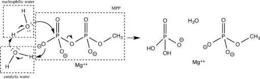 Diagram of hydrolysis of MPP catalyzed by twowater molecules.Arrows indicate directions of electron pair movements. Nucleophilicand catalytic water molecules are indicated.