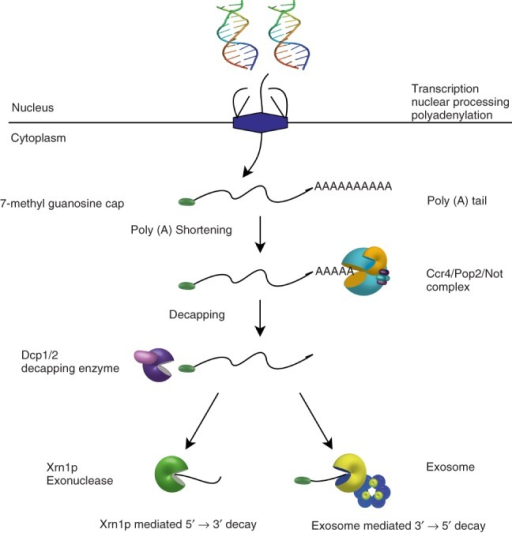 mechanisms for mrna degradation Probes to different regions for a given transcript along with time-points will provide insight into mechanisms of mrna degradation endonuclease vs 3' or 5' exonucleases alternatively you can leave your radionucleotides on and take time points to measure rates of transcription to arrive at steady-state.