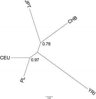 Phylogenetic tree presenting relationship between five ethnically different human populations (CEU CEPH (Utah residents with ancestry from northern and western Europe); YRI Yoruba in Ibadan, Nigeria; JPT Japanese in Tokyo, Japan; CHB Han Chinese in Beijing, China) created with SNP frequency data. Numbers along nodes are bootstrap values