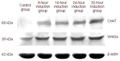 Choline acetyltransferase (ChAT) and Wnt3a protein expression at various time points following induction in neural-induced medium (western blot assay).