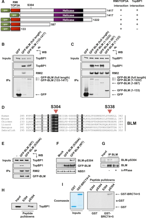 BLM Ser304 Phosphorylation Mediates Direct Binding to TopBP1-BRCT5(A) Schematic of the GFP-tagged BLM constructs used in this study.(B) The N-terminal 132 residues of BLM are required for binding to TOP3A and RMI2 but not TopBP1. Pull-downs were carried out from 293FT cells transiently transfected with the indicated plasmids.(C) The binding site for TopBP1 is located within residues 133–587 of BLM. RMI2 is a positive control for binding to the N terminus of BLM.(D) Sequence alignment showing the evolutionary conservation of the BLM region containing Ser304 and Ser338.(E) Mutation of Ser304 specifically abrogates binding to TopBP1. Pull-downs were carried out from U2OS cells stably expressing the indicated proteins.(F) The BLM-pS304 antibody does not recognize BLM-S304A. 293FT cells were transiently transfected with the indicated plasmids. NBS1 is a loading control.(G) Ser304 is phosphorylated in vivo. BLM immunoprecipitates from U2OS cells were mock treated or treated with lambda phosphatase (λ-PPase).(H) BLM residues 297–311 are sufficient for interaction with TopBP1 when Ser304 is phosphorylated. Streptavidin beads were incubated with biotinylated peptides before addition to HeLa nuclear extracts for pull-downs.(I) TopBP1 BRCT domains 4 and 5 interact directly with BLM peptides phosphorylated on Ser304. Streptavidin beads were incubated with biotinylated peptides before mixing with GST-tagged BRCT domains 4 and 5 or GST alone. See also Figure S2.