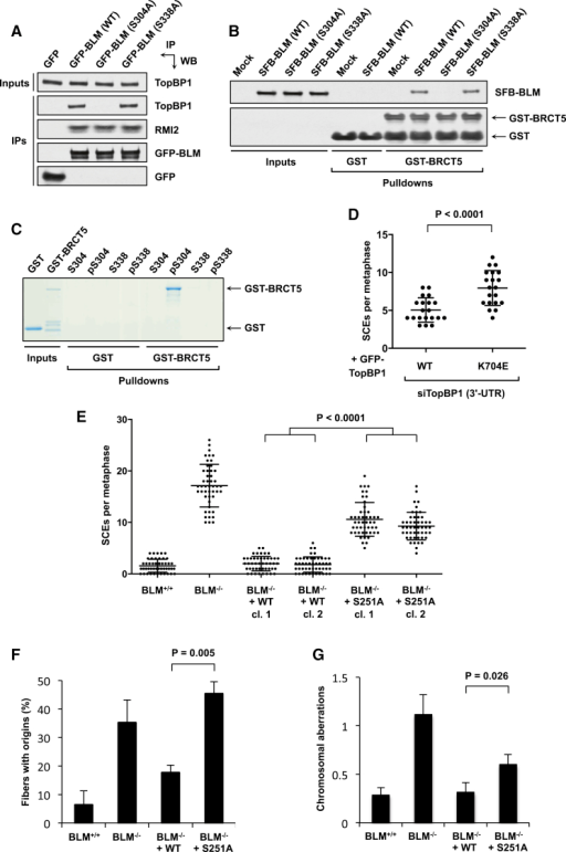 "The BLM-TopBP1 Interaction Promotes Genome Stability and Requires Ser304 but Not Ser338 of BLM(A) Mutation of BLM Ser338 to alanine does not affect its interaction with endogenous TopBP1. Pull-downs were carried out from 293FT cells transiently transfected with the indicated plasmids.(B) Mutation of BLM Ser338 to alanine does not affect its interaction with recombinant GST-tagged TopBP1-BRCT5. Pull-downs were carried out using GST proteins bound to glutathione beads incubated with lysates from 293FT cells transiently transfected with the indicated plasmids.(C) TopBP1-BRCT5 interacts directly with BLM peptides encompassing phosphorylated Ser304 but not Ser338. Streptavidin beads were incubated with biotinylated peptides before mixing with GST-tagged BRCT5 or GST alone.(D) Analysis of SCEs in U2OS cells depleted of endogenous TopBP1 with siRNAs targeting the 3′ UTR and expressing wild-type or K704E TopBP1. A minimum of 20 metaphases was scored per experiment. Significance was determined using the Mann-Whitney U test.(E) Analysis of SCEs in DT40 cells. A minimum of 50 metaphases was scored per experiment. Significance was determined using the Mann-Whitney U test. ""cl.,"" clone.(F) DNA fiber analyses to measure origin firing. DT40 cells were treated with 2.5 μM camptothecin for 90 min in the presence of IdU, washed, and then released into drug-free medium containing CldU for 15 min. A minimum of 200 fibers were scored per experiment. Mean values of three independent experiments are shown ± SEM. Significance was determined using Student's two-tailed t test.(G) Analysis of chromosomal aberrations. Mitotic spreads were prepared from DT40 cells treated with 2 μM aphidicolin for 12 hr. A minimum of 35 metaphases was scored per experiment. Significance was determined using Mann-Whitney U test. See also Figure S3."