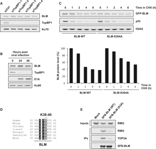 TopBP1 Does Not Protect BLM from Degradation(A) TopBP1 depletion does not affect BLM levels. HeLa cells were transfected with the indicated siRNAs and harvested for western blotting 3 days later.(B) Adenovirus-induced proteasomal degradation of TopBP1 does not affect BLM levels. U2OS cells were infected with the hr703 adenovirus and harvested at the indicated times for western blotting. E1A is a control for adenovirus infection.(C) BLM-TopBP1 interaction does not maintain BLM stability. Cycloheximide (CHX) was added to U2OS cells stably expressing GFP-BLM proteins for the indicated times before harvesting for western blotting. The graph shows the level of BLM at the time points indicated as a percentage of untreated (0 h). Quantification was performed using ImageJ.(D) Sequence alignment showing the evolutionary conservation of the BLM region containing Lys38, Lys39, and Lys40.(E) Mutation of BLM Lys38, Lys39, and Lys40 to alanine (K3A) disrupts binding to TOP3A and RMI2. 293FT cells were transfected with the indicated plasmids and harvested for pull-downs 24 hr later. See also Figure S4.