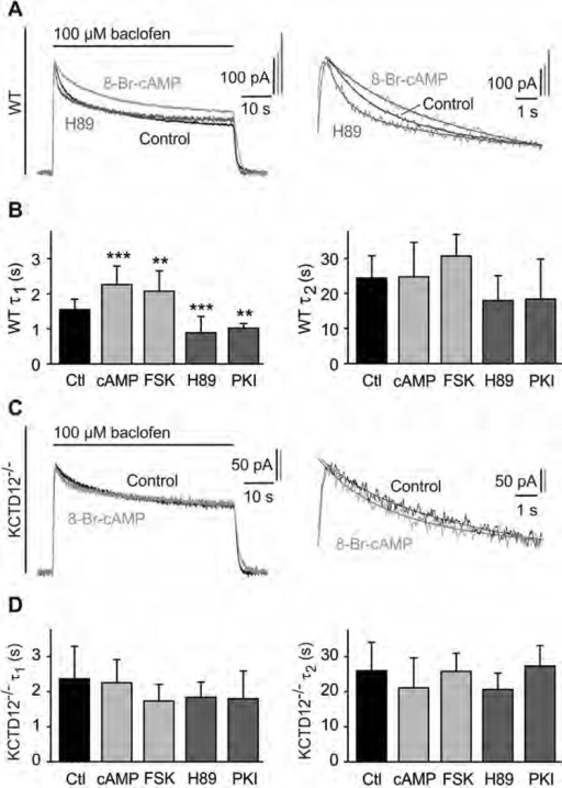 PKA activation slows fast desensitization of baclofen-activated K+ currents in cultured hippocampal neurons of WT but not of KCTD12−/− mice. (A) Representative baclofen-activated K+ currents recorded at −50 mV from WT hippocampal neurons. PKA activity was modulated by pre-incubation for 30 min with 8-Br-cAMP (1 mM; bright grey trace) or H89 (2 µM; dark grey trace). Controls represent recordings from untreated neurons (black trace). The desensitization time constants τ1 and τ2 were derived from double-exponential fits to the decay phase of K+ currents during baclofen application (enlarged on the right). (B) Bar graph summarizing the time constants τ1 and τ2 of baclofen-induced K+ current desensitization for the indicated treatments. Data are means ± SD, n = 7–35. **, p < 0.01; ***, p < 0.001; Dunnett's multiple comparison test, compared to Ctl. Ctl, control; FSK, forskolin; cAMP, 8-Br-cAMP. (C) Representative baclofen-activated K+ current responses from hippocampal KCTD12−/− neurons pre-incubated with 8-Br-cAMP (grey trace) or untreated KCTD12−/− neurons (control, black trace) as in (A). Traces were fitted as in (A). (D) Bar graph summarizing the time constants τ1 and τ2 of baclofen-induced K+ current desensitization for the indicated treatments. Data are means ± SD, n = 5–17, Dunnett's multiple comparison test, compared to Ctl.