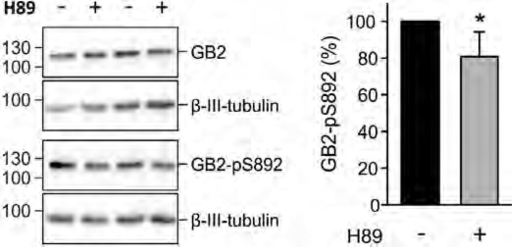 Basal phosphorylation of S892 is decreased by inhibiting PKA in hippocampal neurons of WT mice. Western blot of cultured neurons in the presence and absence of H89 (10 µM, 2 h pre-incubation; left). Inhibition of PKA does not affect the amount of GB2 protein but decreases the amount of S892 phosphorylation (GB2-pS892). β-III-Tubulin was used as a loading control. Bar graph summarizing the amount of phosphorylated S892 (GB2-pS892 in %; right). The total amount of GB2 and GB2-pS892 were normalized to β-III-tubulin on the same blot. Data are means ± SD, n = 6. *, p < 0.05; t test.