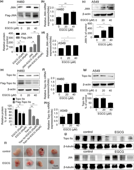 EGCG regulated the expression of JWA and topoisomerase IIα (topo IIα) in vitro (NCI-H460 and A549 cells) and in vivo.(a) Cells transfected with Flag-JWA (4 μg) or without transfection were incubated with EGCG (20–40 μM) for 24 h. JWA protein expression was assessed by Western blot analysis. β-actin expression served as a loading control. (b) NCI-H460 cells were treated with EGCG (20–40 μM) for 24 h and total cellular RNA was extracted. mRNA level of JWA was detected by real-time PCR. GAPDH was used as an internal control. (c) Western blot analysis of the protein level of JWA in EGCG-treated A549 cells for 24 h. β-actin expression served as a loading control. (d) After A549 cells were incubated with EGCG (20–40 μM) for 24 h, total RNAs were prepared and real-time PCR was applied to measure the JWA mRNA level. GAPDH was used as an internal control. (e) NCI-H460 cells were transfected with or without Flag-topoisomerase IIα plasmid (4 μg) and then treated with EGCG (20–40 μM) for 24 h. Protein from cell was subjected to western blot analysis. β-actin expression was served as a loading control. (f) Total RNAs from NCI-H460 cells incubated with EGCG (20–40 μM) for 24 h were extracted and subjected to real-time PCR using primer for topoisomerase IIα. GAPDH was used as an internal control. (g) A549 cells were treated with EGCG (20–40 μM) for 24 h and then protein from cell lysate was subjected to western blot analysis. β-actin expression was served as a loading control. (h) A549 cells were incubated in the absence or presence of EGCG (20–40 μM) for 24 h. Then cells were lysed for the detection expression of topoisomerase IIα mRNA by real-time PCR. GAPDH was used as an internal control. The A549 xenograft nude mice model was established and treated with EGCG or normal saline. (i) Tumor size was checked twice per week. (j) Protein obtained from tumor tissues was subjected to western blot. β-tubulin expression was served as a loading control. Error bars represent the mean ± SD of triplicate experiments. Statistical differences to the controls were shown as *p < 0.05, **p < 0.01.