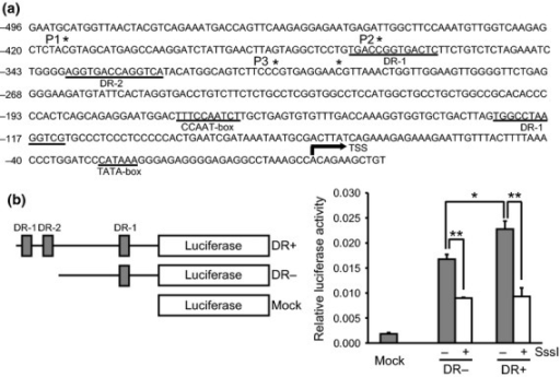 Promoter assay of microRNA-122 (miR-122) expression. (a) The promoter region of miR-122, which contains a TATA-box, a CCAAT-box, and DR-1 and DR-2 elements. DNA methylation status was determined by bisulfite pyrosequencing at the CpG sites indicated by asterisks. Arrow indicates the transcription start site (TSS), as described previously.21 (b) Promoter assay of miR-122 expression using a Dual Luciferase Reporter Assay System. Fragments of the human miR-122 promoter with or without the DR-1 and DR-2 elements were inserted between the SacI and HindIII sites within pGL4.10. Plasmids with or without Sss I CpG methylase treatment were cotransfected with Renilla luciferase expression vector into HepG2 cells. Forty-eight hours after transfection, luciferase activities were measured. *P < 0.01; **P < 0.005.