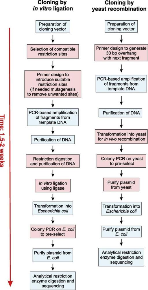 Flow Chart Depicting Experimental Cloning Steps Yrbc I Open I