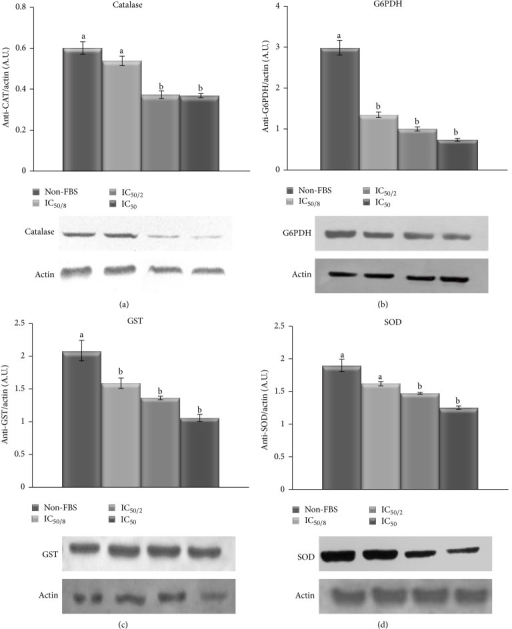 Western blots of CAT (a), G6PDH (b), GST (c), and SOD (d) on B16F10 cells cultivated without FBS at different MA dosages. The levels of specific protein expression are shown as arbitrary intensity units of each band compared to arbitrary intensity units of actin. Values are expressed as means ± SD. Different letters indicate significant differences (P < 0.05).