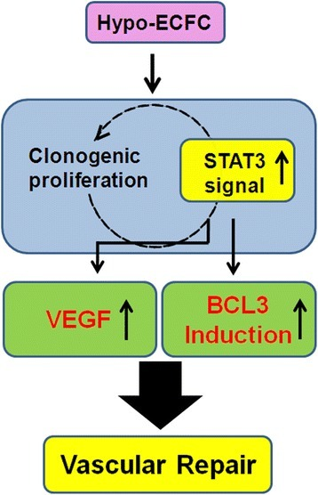 Schematic representation of proposed mechanisms by which hypoxia increases clonogenic and proliferative potential, and enhances hypo-ECFC-mediated neovasculogenesis. Hypoxic preconditioning increases the clonogenic and proliferative potential of endothelial colony-forming cells (ECFCs) via the STAT3 pathway and augments the survival of ECFCs via STAT3-mediated BCL3 and vascular endothelial growth factor (VEGF) expression. These effects enhance ECFC-mediated neovasculogenesis in ischemic diseases