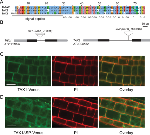 The TAXIMIN peptides in Arabidopsis. (A) Sequence alignment of TbTAX and Arabidopsis orthologues TAX1 and TAX2. The in silico-predicted TbTAX signal peptide (Onrubia et al., 2014), located at the N-terminus, and hydrophobic amino acids are underlined and marked by circles, respectively. (B) Schematic diagram of the gene structure of TAX1 and TAX2 displaying the site of T-DNA insertion in the respective tax mutant lines. Black bars, grey bars, and black lines represent exons, UTR regions, and introns, respectively. (C, D) Subcellular localization of the TAX1 peptide with (C) and without (D) the N-terminal signal fused to Venus expressed in 5-day-old Arabidopsis root cells and visualized with a confocal microscope. Propidium iodide (PI) staining was used as a localization control. Scale bars are 20 µm.