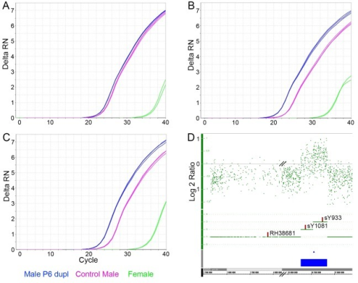 qPCR validation of the newly discovered P6 duplication.Amplification plots for a female (green), a control male (purple) and a male with P6 dupl. (blue) are shown for markers RH38681 (A), sY1081 (B) and sY933 (C). D. Intensity signal plot (Log 2 ratio) for an individual with P6 dupl. showing that markers sY1081 and sY933 are positioned within the duplicated region, while RH38681 is located outside.