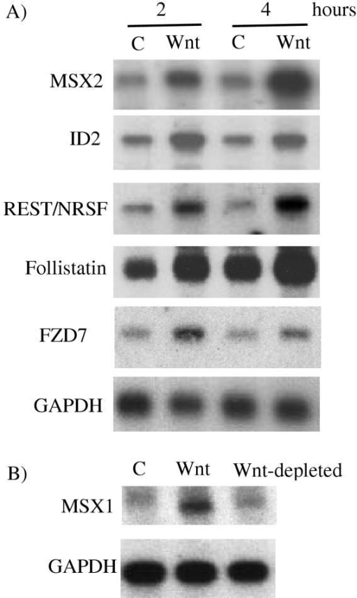 A) Confirmation of microarray data using Northern analysis. Northern blot analysis using MSX2, ID2, REST/NRSF, FZD7 (Frizzled7) and Follistatin cDNA probes. NCCIT cells were treated with CCM (-) or Wnt-3A CM (+) for the designated number of hours. 1 ug mRNA was loaded into each lane. GAPDH is shown as a sample loading control. B) MSX1 induction by Wnt-3A CM is dependent on the presence of soluble Wnt-3A protein. C = CCM. Wnt = Wnt-3A CM. Wnt-depleted = Wnt-3A CM. Cells were incubated with the various media for 4 hours.