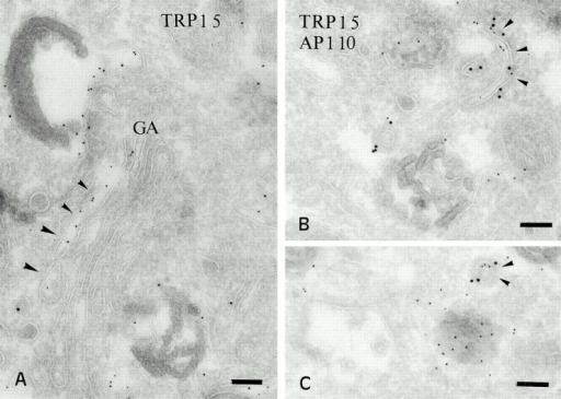 Distribution of TRP1 in the Golgi and associated vesicles. (A) Ultrathin cryosections of MNT-1 cells were labeled with anti-TRP1 and PAG 5. TRP1 is often enriched in one side of the Golgi apparatus. (B and C) Double labeling of MNT-1 cells for TRP1 (PAG 5) and γ-adaptin (PAG 10). TRP1 positive tubules and vesicles are labeled for γ-adaptin (arrowheads). Bars, 100 nm.