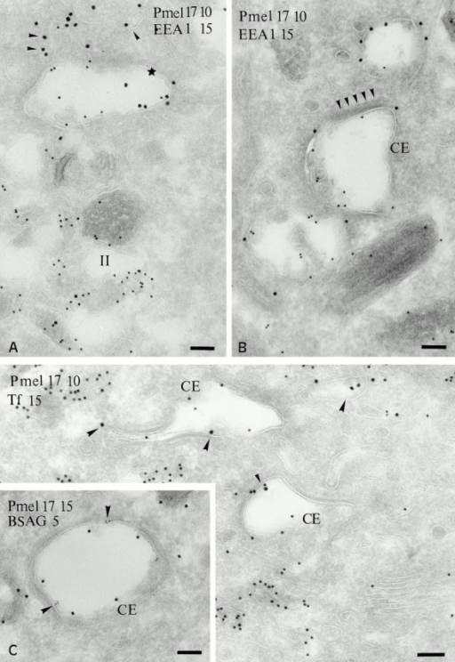 Localization of Pmel17 relative to EEA1 and endocytic tracers. (A and B) Ultrathin cryosections of MNT-1 cells were double labeled with HMB50 (anti-Pmel17; PAG 10) and anti-EEA1 (PAG 15). (A) EEA1 is detected in small vesicles (arrowheads) and on the limiting membrane of a compartment that also contains Pmel17 (star). Note that labeling for Pmel17 and EEA1 is segregated (B) EEA1 (PAG 15) is enriched in electron lucent vesicular compartments that are poorly labeled for Pmel17 (PAG 10). Note the unusual morphology of the endosomal compartments containing the bulk of Pmel17 (CE), which are poorly labeled for EEA1 and display on their cytosolic side an electron dense coat (arrowheads). (C) Cryosection of MNT-1 cells exposed to Tf-FITC for 20 min at 37°C, labeled with anti-FITC antibodies and PAG 15. Tf-FITC is present in small tubulovesicular structures (arrowheads) and in Pmel17-positive (PAG 10) coated endosomes (CE). (Inset in C) MNT-1 cells pulsed with BSAG for 5 min and chased for 10 min. BSAG (5 nm) at this time point is mainly detected in the Pmel17-positive coated endosome (CE). Pmel17 was labeled with HMB50 and PAG 15. Bars, 100 nm.