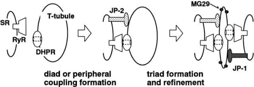 Protein components involved in formation of triad junction in skeletal muscle. JP subtypes specifically interact with the cell membrane through the cytoplasmic region and span the ER–SR membrane in the COOH-terminal end. Therefore, JP subtypes can contribute to the formation of junctional membrane complexes. JP-1 knockout mice and other observations likely suggest that JP-1 is essential for the construction and/or maintenance of the triad junction in skeletal muscle (see text). In the triad junction, DHPR and RyR function as the cell surface voltage sensor and SR Ca2+ release channel, respectively, and proposed direct coupling between them converts depolarization into intracellular Ca2+ signaling. Furthermore, our previous results indicated that mitsugumin29 (MG29) is important for structural refinement of the triad junction, such as T-tubular vending and correct localization of the T-tubule (Nishi et al., 1999).