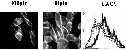 Effects of filipin on CD36 surface protein expression in CHO-CD36 cells. CHO-CD36 cells were treated with filipin at 10 μg/ml and assayed for CD36 protein expression by immuostaining with FITC-conjugated anti-CD36 antibody (Left panel, no filipin treated; middle panel, filipin treated showing higher fluoreence indensity) and flow cytometry (right panel, dark traces treated with filipin and gray traces without filipin treatment as control).