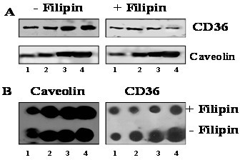 Semi-quantitation of caveolin and CD36 with and without filipin treatment. Caveolin-enriched membrane protein fractions same as in Fig. 5 were analyzed with both anti-CD36 antibody (upper panel in A) and anti-caveolin antibody (lower panel in A) for the two protein presence. B. Quantitative comparison of caveolin and CD36 proteins in final caveolin-enriched membrane fraction from either filipin treated or untreated cells with dot blots. From left to right, 5, 10, 20 and 40 μg/dot of total proteins were loaded.