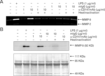 The stimulation of CD147 induced the expression of MMP-9 in THP-1 cells. (A) THP-1 cells were stimulated with anti-CD147 mAb or isotype-matching mouse IgG (mIgG) that had been immobilized at indicated concentrations. LPS was used as a positive control. Some of the cells were also stimulated with antibodies that had been heat inactivated at 95℃ for 2 hr. Culture supernatants were collected 24 hr after activation and subjected to gelatin zymogram. (B) THP-1 cells were stimulated as in (A) and culture supernatants were concentrated (×10) and subjected to Western blot analysis using MMP-9 specific antibody. As loading control, the picture of the membrane used for Western blot analysis that had been stained with Coomassie Brilliant Blue is shown at the lower panel.