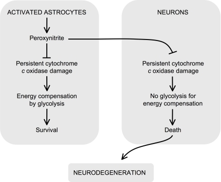 Role for irreversible inhibition of cytochrome c oxidase in neurodegeneration. Peroxynitrite can be formed in astrocytes upon activation. In astrocytes, peroxyntrite irreversibly damages cytochrome c oxidase, which causes mitochondrial dysfunction. However, these cells compensate the energy deficiency by activating glycolysis and survive. Peroxynitrite is a highly diffusible molecule, and hence it reaches neighboring neurons, where it irreversibly damages cytochrome c oxidase. In contrast to astrocytes, neurons cannot up-regulate the energy-compensating glycolysis and hence they die by bioenergetic crisis. Thus, the irreversible inhibition of cytochrome c oxidase by peroxynitrite has a critical negative effect on neuronal survival and may contribute to the propagation of neurodegeneration.