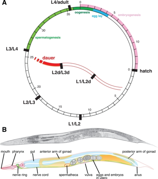 The simple life cycle and anatomy of C. elegans.(A) C. | Open-i