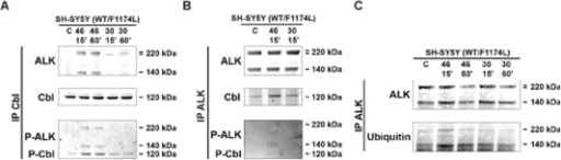 Kinase activation dependent down-regulation was regulated by Cbl ubiquitin ligase and ALK ubiquitylation.A. SH-SY5Y cells were treated or not with either agonist mAb 46 or antagonist mAb 30 at 6 nM during 15 or 60 min. Cbl immunoprecipitates from 2 mg total cell lysate proteins were submitted to western-blot analysis, and then immunoblotted with polyclonal anti Cbl and ALK recruitment with polyclonal REAB antibody. Phosphorylated ALK and Cbl were revealed with 4G10 antibody. B. SH-SY5Y cells were serum starved for 16 hours and non-treated or treated with either agonist mAb 46 or antagonist mAb 30 at 6 nM during 15 or 60 min. ALK immunoprecipitates from 2 mg total cell lysate proteins were submitted to western-blot analysis and then immunoblotted with polyclonal REAB. Cbl recruitment was revealed with polyclonal anti Cbl antibody. Phosphorylated ALK and Cbl were revealed with 4G10 antibody. C. SH-SY5Y were serum starved for 16 hours, and then non-treated or treated with either mAb 46 or mAb 30 at 6 nM for 15 minutes or 60 minutes. ALK immunoprecipitates were submitted to Western-blot analysis as described.